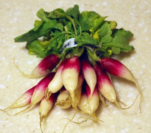 CSA Highlight: French Breakfast Radishes
